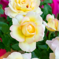 Looking for more Roses & Flowers? Here are some tips to get the best blooms